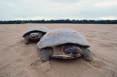 South American River Turtle (Podocnemis expansa) pair on beach of Trombetas River where it lays eggs, Amazon, Brazil  -  Claus Meyer