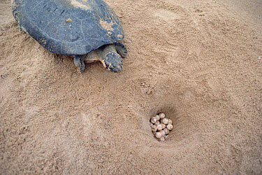 South American River Turtle (Podocnemis expansa) female near nest where she has laid her eggs, Amazon, Brazil  -  Claus Meyer