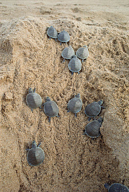 South American River Turtle (Podocnemis expansa) young turtles racing to the water, Amazon, Brazil  -  Claus Meyer