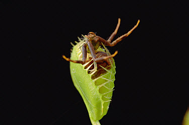 Venus Fly Trap (Dionaea muscipula) with captured spider, southern Brazil  -  Claus Meyer