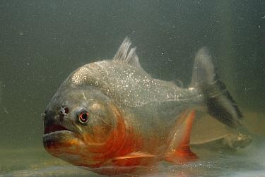 Red-bellied Piranha (Pygocentrus nattereri) portrait, Amazon, Brazil  -  Claus Meyer