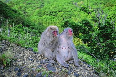 Japanese Macaque (Macaca fuscata) pair grooming, Shimokita Peninsula, Japan  -  Tetsuo Kinoshita/ Nature Product