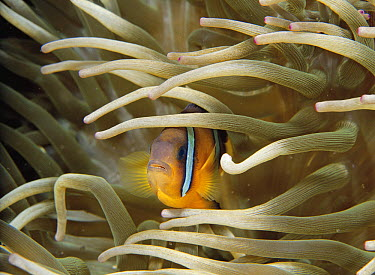 Clark's Anemonefish (Amphiprion clarkii) hiding in tentacles of a Sea Anemone (Entacmaea sp), Japan  -  Noriaki Yamamoto/ Nature Product