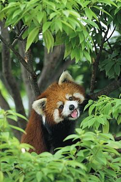 Lesser Panda (Ailurus fulgens), Yuki Park Zoo, Yamanashi, Japan  -  Shin Yoshino/ Nature Production