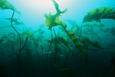 Deep-sea Tangle (Laminaria sp) kelp beds, Bay of Fundy, Nova Scotia, Canada  -  Scott Leslie
