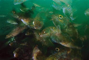 Cunner (Tautogolabrus adspersus) fish, multiexposed 16x, Nova Scotia, Canada  -  Scott Leslie