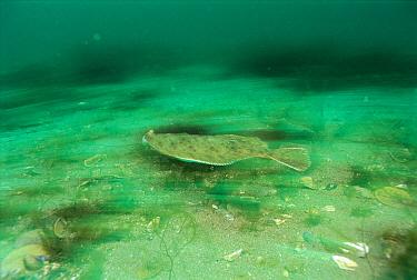 Winter Flounder (Pleuronectes americanus) swimming, Nova Scotia, Canada  -  Scott Leslie