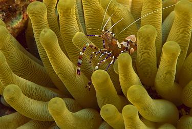 Spotted Cleaner Shrimp (Periclimenes yucatanicus) on anemone, Bonaire, Caribbean  -  Scott Leslie