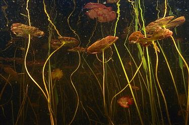 Fragrant Water Lily (Nymphaea odorata) leaves in pond, West Stoney Lake, Nova Scotia, Canada  -  Scott Leslie