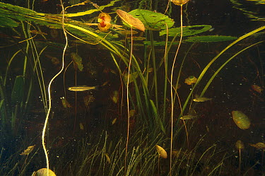 Freshwater fish in pond swimming amid stems of Fragrant Water Lilies (Nymphaea odorata), West Stoney Lake, Nova Scotia, Canada  -  Scott Leslie