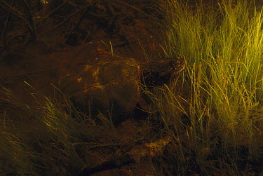 Snapping Turtle (Chelydra serpentina) in pond, West Stoney Lake, Nova Scotia, Canada  -  Scott Leslie