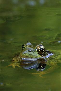 Northern Green Frog (Rana clamitans melanota) in pond, West Stony Lake, Nova Scotia, Canada  -  Scott Leslie