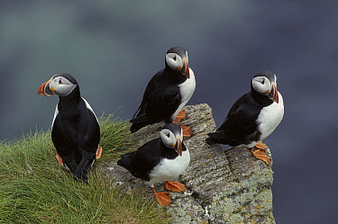Atlantic Puffin (Fratercula arctica) group on cliff, Baccalieu Island, Newfoundland and Labrador, Canada  -  Scott Leslie