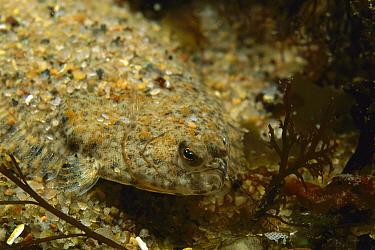 Winter Flounder (Pleuronectes americanus) juvenile camouflaged in sand, Nova Scotia, Canada  -  Scott Leslie