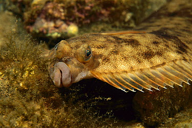 Winter Flounder (Pleuronectes americanus), Bay of Fundy, Nova Scotia, Canada  -  Scott Leslie