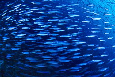 Fish group schooling, Bonaire, Caribbean  -  Scott Leslie