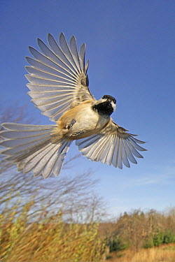 Black-capped Chickadee (Poecile atricapillus) flying, Granville Beach, Nova Scotia, Canada  -  Scott Leslie