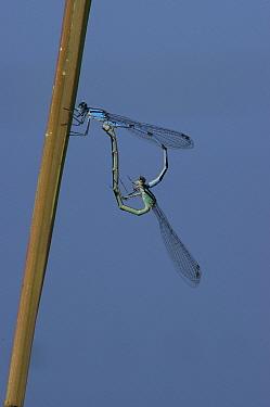 Civil Bluet (Enallagma civile) damselflies mating, Annapolis Royal, Nova Scotia, Canada  -  Scott Leslie