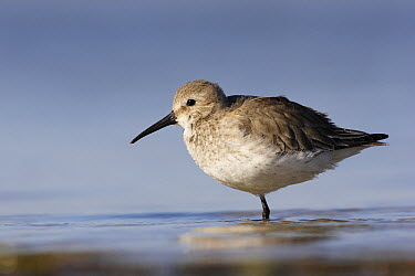 Dunlin (Calidris alpina) resting, Merrit Island National Wildlife Refuge, Florida  -  Scott Leslie