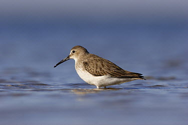 Dunlin (Calidris alpina), Merrit Island National Wildlife Refuge, Florida  -  Scott Leslie