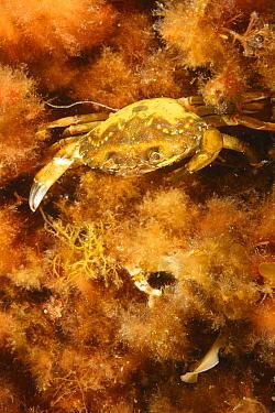Common Shore Crab (Carcinus maenas), St. Margaret's Bay, Nova Scotia, Canada  -  Scott Leslie