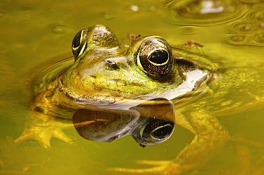 Northern Green Frog (Rana clamitans melanota), West Stony Lake, Nova Scotia, Canada  -  Scott Leslie