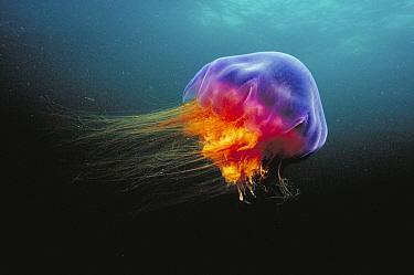 Lion's Mane (Cyanea capillata) jellyfish, Atlantic Ocean, Nova Scotia, Canada  -  Scott Leslie