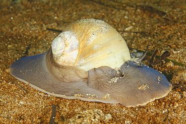 Northern Moon Snail (Polinices heros), St. Margaret's Bay, Nova Scotia, Canada  -  Scott Leslie
