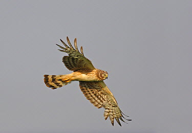 Northern Harrier (Circus cyaneus) female flying, Cape Cod, Massachusetts  -  Scott Leslie