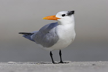 Royal Tern (Thalasseus maximus) portrait, Lover's Key, Fort Meyer's Beach, Florida  -  Scott Leslie