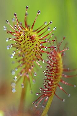 Sundew (Drosera sp) leaf and sticky tentacles, West Stoney Lake, Nova Scotia, Canada  -  Scott Leslie