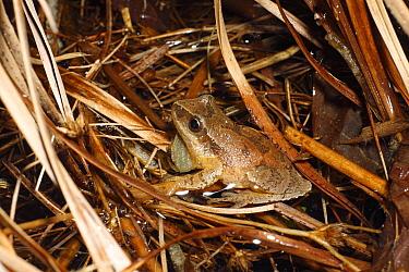 Spring Peeper (Pseudacris crucifer) frog calling, Nova Scotia, Canada  -  Scott Leslie