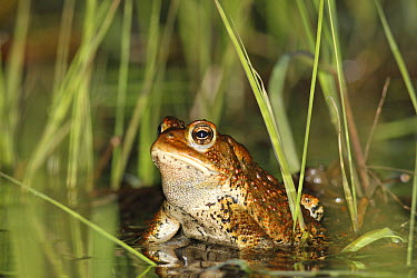 American Toad (Bufo americanus) in spring pond, West Stoney Lake, Nova Scotia, Canada. Sequence 2 of 2  -  Scott Leslie
