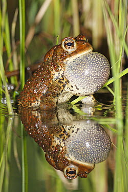 American Toad (Bufo americanus) calling in spring pond, West Stoney Lake, Nova Scotia, Canada  -  Scott Leslie