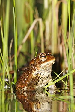 American Toad (Bufo americanus) in spring pond, West Stoney Lake, Nova Scotia, Canada  -  Scott Leslie