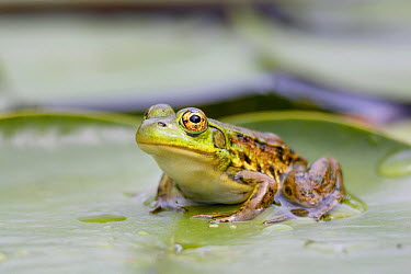 Mink Frog (Rana septentrionalis) on lily pad, West Stoney Lake, Nova Scotia, Canada  -  Scott Leslie
