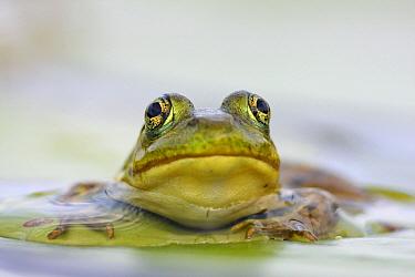 Northern Green Frog (Rana clamitans melanota), West Stoney Lake, Nova Scotia, Canada  -  Scott Leslie