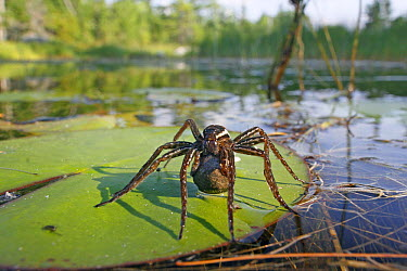 Fishing Spider (Dolomedes sp) female with egg case on lily pad, West Stoney Lake, Nova Scotia, Canada  -  Scott Leslie