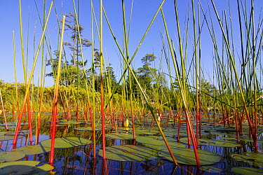 Marsh with reeds and lily pads surrounding a pond, West Stoney Lake, Nova Scotia, Canada  -  Scott Leslie