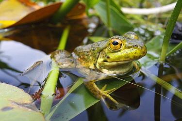 Northern Green Frog (Rana clamitans melanota) in pond, West Stoney Lake, Nova Scotia, Canada  -  Scott Leslie
