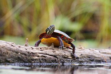 Painted Turtle (Chrysemys picta) sunbathing on log, West Stoney Lake, Nova Scotia, Canada  -  Scott Leslie