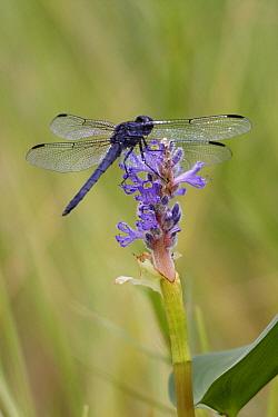 Dragonfly (Libellulidae) on Pickerelweed (Pontederia cordata) flower, West Stoney Lake, Nova Scotia, Canada  -  Scott Leslie