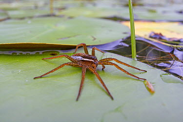 Fishing Spider (Dolomedes sp) on lily pad, West Stoney Lake, Nova Scotia, Canada  -  Scott Leslie