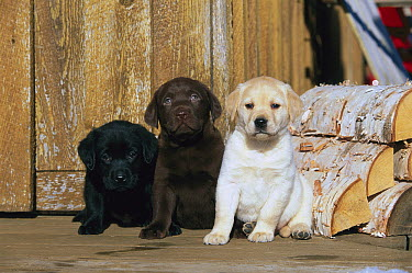 Labrador Retriever (Canis familiaris), three different colored puppies, black, chocolate, and yellow, beside logs  -  Mark Raycroft
