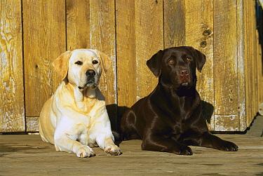 Labrador Retriever (Canis familiaris) yellow and chocolate pair laying on deck  -  Mark Raycroft