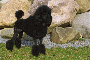 Standard Poodle (Canis familiaris) with show cut  -  Mark Raycroft