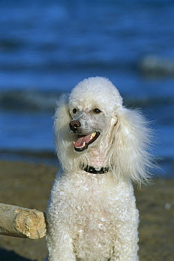 Miniature Poodle (Canis familiaris) portrait  -  Mark Raycroft