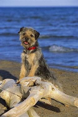 Border Terrier (Canis familiaris) portrait on beach  -  Mark Raycroft