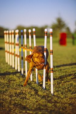 Vizsla (Canis familiaris) doing weave poles during agility test  -  Mark Raycroft