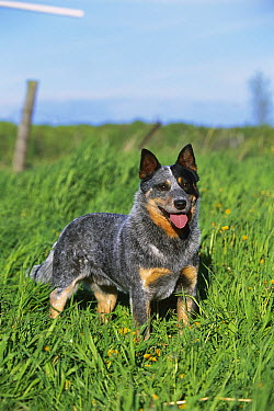 Australian Cattle Dog (Canis familiaris) portrait  -  Mark Raycroft